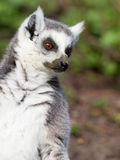 Lemure catta prendenti il sole nella cattività Immagini Stock