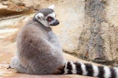 Lemure catta rilassate che si siedono di nuovo alla macchina fotografica sulla roccia fotografia stock