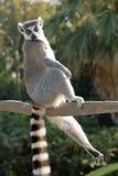 Lemure catta rilassate ed allungate Immagine Stock