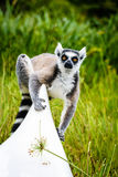 Lemure catta sul kajak nel Madagascar Immagine Stock