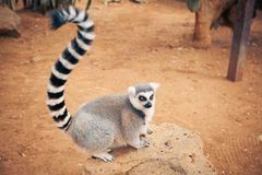 Lemure catta sveglie Immagini Stock Libere da Diritti