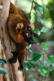 Lemure che afferrano su un albero Fotografia Stock Libera da Diritti
