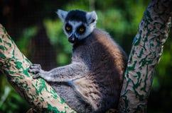 Lemure che fissano voi Fotografia Stock Libera da Diritti