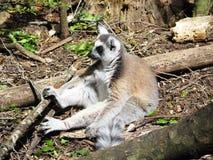 Lemure che governano a Monkeyland sull'itinerario del giardino, Sudafrica fotografia stock libera da diritti