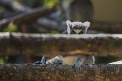 Lemure che guardano fuori da dietro il ceppo Fotografia Stock Libera da Diritti