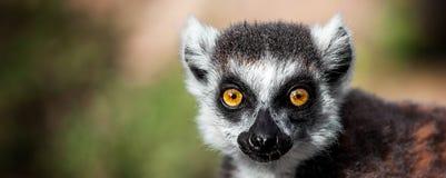 Lemure che guardano, lemure catta (catta delle lemure) selvagge Immagine Stock