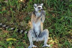 Lemure che mangiano banana nel Madagascar, Africa Fotografia Stock