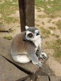 Lemure che si siedono su un banco Immagini Stock
