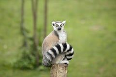 Lemure che si siedono su un ceppo Fotografie Stock