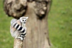 Lemure che si siedono su un ceppo Fotografia Stock Libera da Diritti