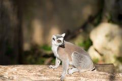 Lemure che si siedono su un ceppo Fotografie Stock Libere da Diritti