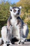 Lemure che si siedono su un ramo di albero Immagini Stock