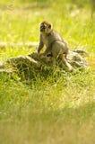 Lemure che si siedono su una roccia Fotografia Stock