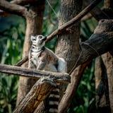 Lemure che si siedono sul ramo Immagine Stock Libera da Diritti
