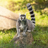 Lemure che si siedono sulla roccia fotografia stock libera da diritti