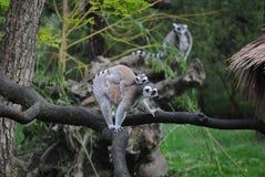 Lemure con il bambino sveglio Immagine Stock Libera da Diritti