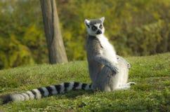 Lemure dalla cody reklamy anelli o lemure catta o katta | Lemura catta Zdjęcia Royalty Free