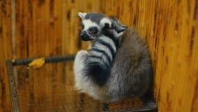 Lemure del gatto che si siedono nella sua gabbia archivi video