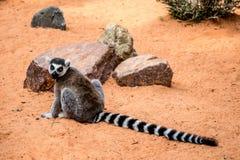 Lemure del Madagascar fotografia stock libera da diritti