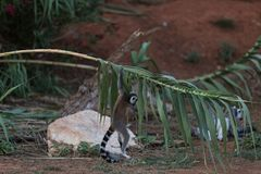 Lemure del Madagascar che afferrano un ramo immagine stock libera da diritti