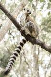 Lemure del Ringtail Fotografia Stock Libera da Diritti