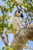 Lemure del Sifaka di giovane Verreaux immagini stock libere da diritti