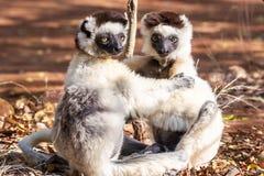 Lemure del Sifaka di Verreaux immagini stock