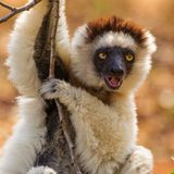 Lemure del Sifaka di Verreaux fotografie stock