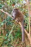 Lemure delicate grige Fotografia Stock