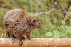 Lemure delicate rosse Immagini Stock