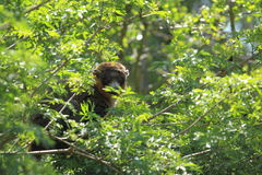 Lemure dell'erpeste Fotografie Stock