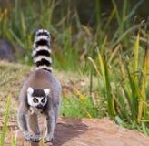 Lemure della coda dell'anello fotografia stock