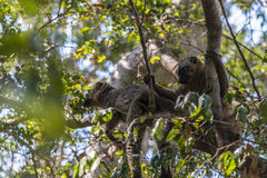 Lemure di Braun in Tsingy Fotografie Stock