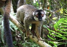 Lemure di Brown Fotografia Stock