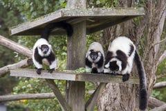 Lemure di Ruffed Fotografia Stock