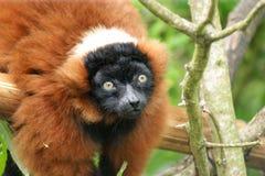 Lemure di Ruffed  Immagine Stock