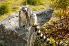 Lemure di seduta sulla pietra, zoo immagine stock libera da diritti