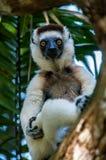 Lemure di Sifaka fra i rami nel Nahampoana immagini stock libere da diritti