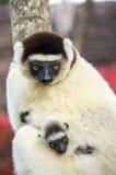 Lemure di Sifaka, Madagascar fotografia stock