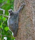 Lemure di volo immagine stock libera da diritti