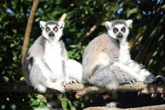 Lemure due che si siedono su un collegamento di legno un il giorno soleggiato immagine stock