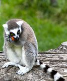 Lemure goloso. A funny behaviour of a little animal during lunch time Royalty Free Stock Photos