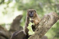 Lemure gonfiate rosso che mangiano lattuga fotografia stock
