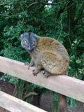 Lemure marroni comuni allo zoo fotografie stock