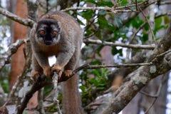 Lemure marroni comuni, Madagascar Fotografia Stock Libera da Diritti