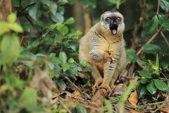 lemure marroni Rosso-fronteggiate Fotografia Stock