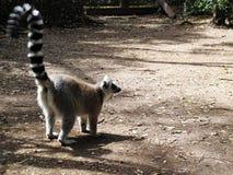 Lemure a Monkeyland sull'itinerario del giardino, Sudafrica immagini stock libere da diritti