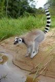 Lemure nel Madagascar Fotografia Stock Libera da Diritti