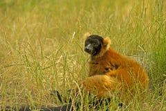 Lemure nell'erba Immagini Stock Libere da Diritti