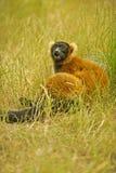 Lemure nell'erba 3 Immagini Stock